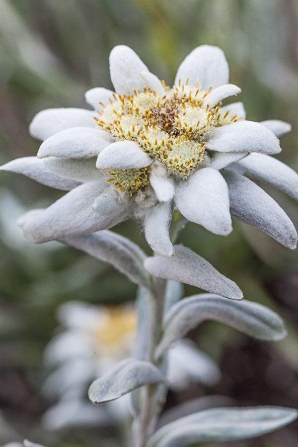Weleda Edelweiss Sonnenpflege, Pressebild Edelweiss (Review auf Hey Pretty Beauty Blog)