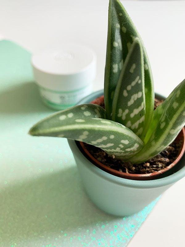Aloe Vera: Warum wir diese Hautpflege-Ingredienz so lieben (The Body Shop Aloe Soothing Day Cream (Erfahrungsbericht auf Hey Pretty)
